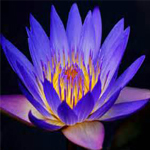 eGreeting - Water lilly image