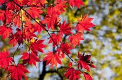 Red leaves on branch - tree